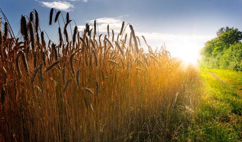En İyi Buğday