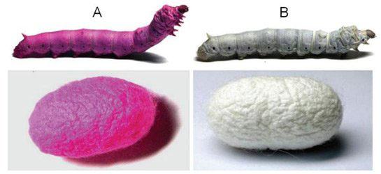 Rengârenk İpekböcekleri