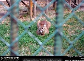 Puma hayvanat bahçesi ankara erhan akkaya